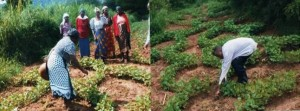 A group of Farmers from Kinyuani /Kituku Women Group, who underwent a training on Soil Conservation and Water Harvesting from Ukamba Christian Community Services (UCCS); one of PELUM-Kenya's Member Organization demonstrating on closed ridges farming technology