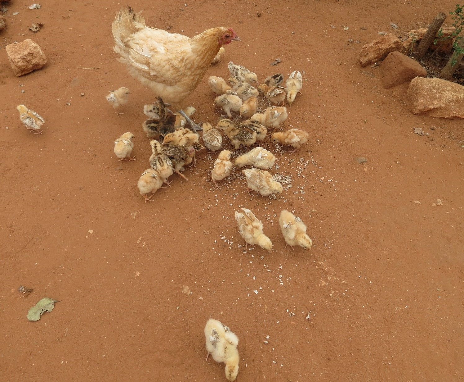 Farmer innovation- Wonder chicken with thirty chicks
